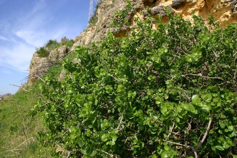 Catálogo de flora autóctona Whitania%20frutescens_001336_dml_1_4_800px