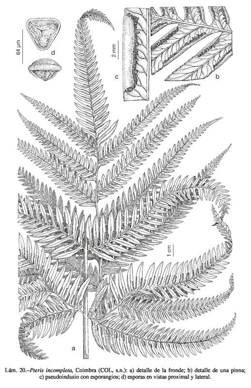 Flora vascular toda la informacin detallada sobre la flora pteris incompleta ccuart Image collections