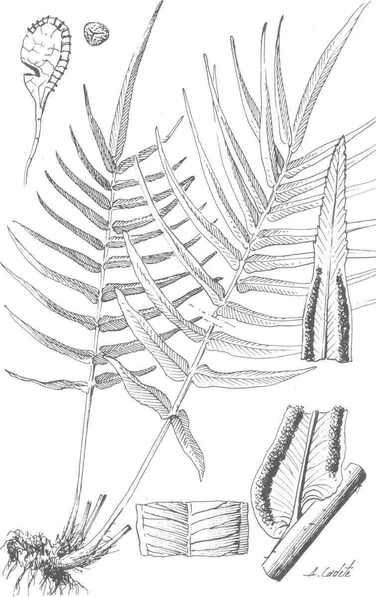 Flora vascular toda la informacin detallada sobre la flora pteris ccuart Image collections