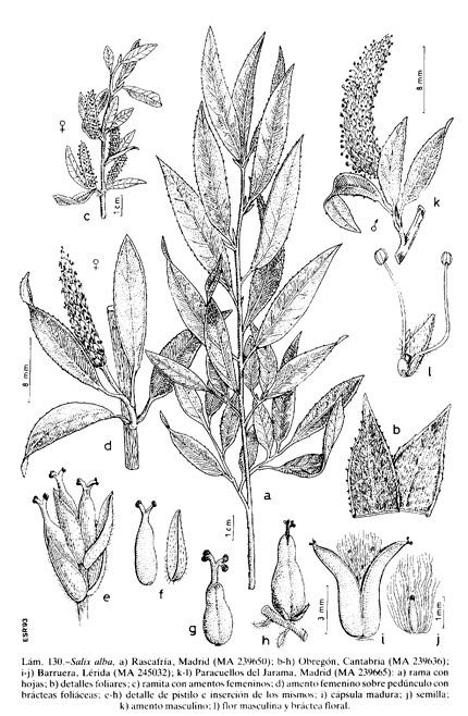 Ficha Plantas Medicinales: Sauce Blanco o Común. Salix_alba_FIL
