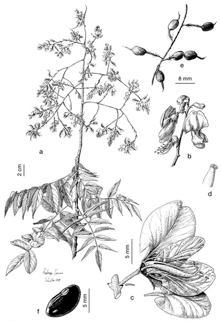 1000  images about sophora japonica on pinterest